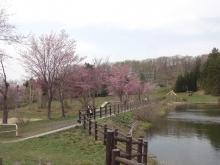 池そばの桜