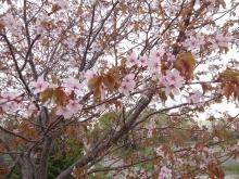 展望台そばの桜