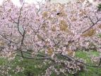 創成川緑地のサクラ