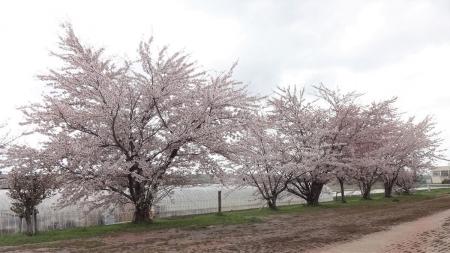 上茨戸中間橋そばの桜