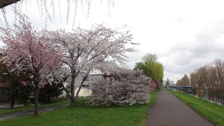 茨戸耕北橋近くの桜