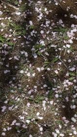 桜の花が散っています