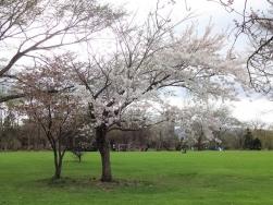 八重桜のそばの桜