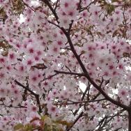 どこだったかしら? 桜です(^^ゞ