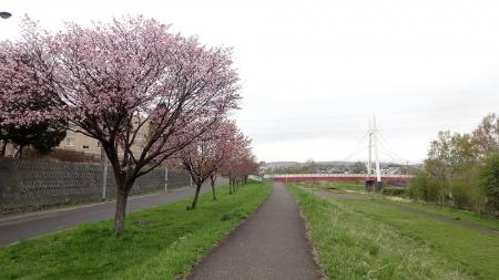 厚別川にかかる北野ふれあい橋と、厚別川緑地の桜