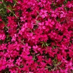 5/26 芝桜