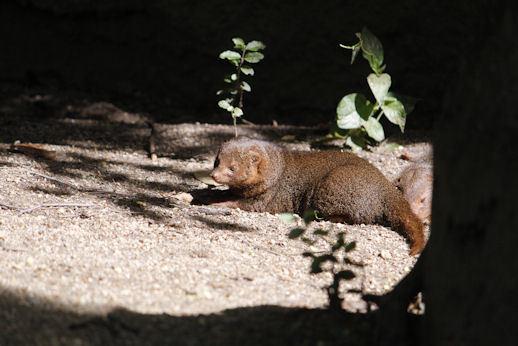 '18.5.12 dwarf mongoose 5825