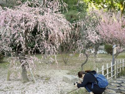 落梅を撮る人 LUMIX G 20mmF1.7 ASPH.
