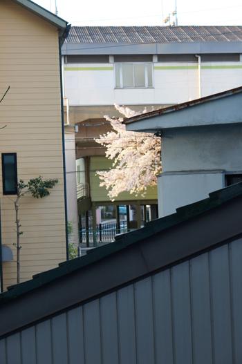 いつかの桜