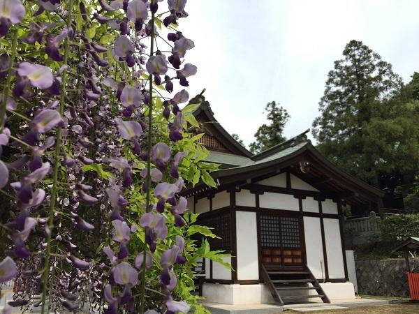藤が満開!木華佐久耶比咩神社 拝殿