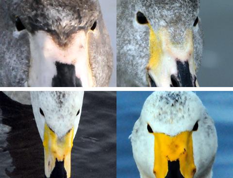 ⑪ オオハク 幼鳥・亜成鳥期 額羽毛の生え際形状