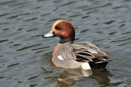 wigeon-blackthroat