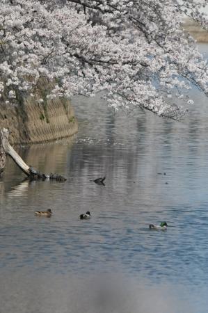 yoshi-sakura