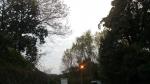 水俣市袋地区の坂の上の桜かもしれない樹木