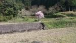 新免眼鏡橋近くの一本桜