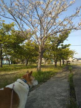 集会所の桜とゴンタ