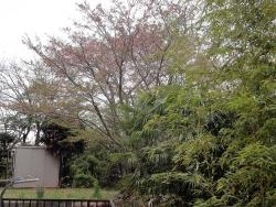 裏庭から見た近所の桜の木20180407