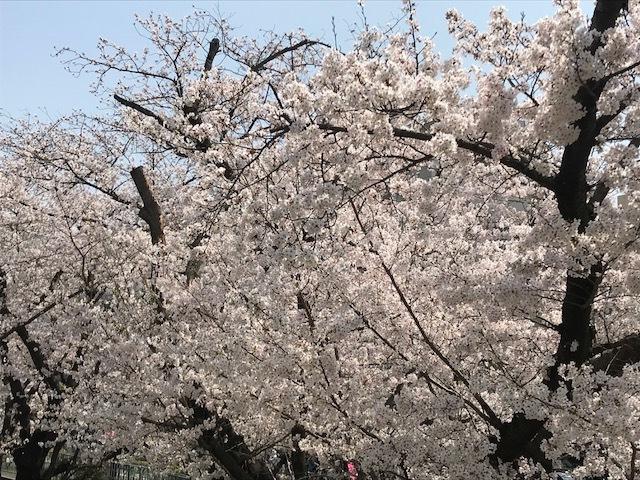 2018桜12