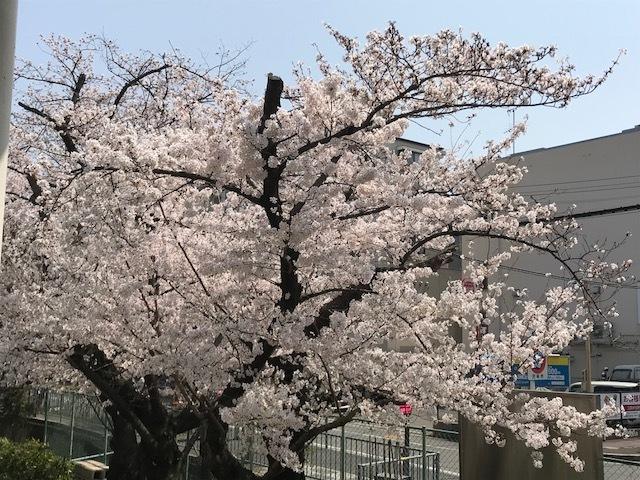 2018桜11