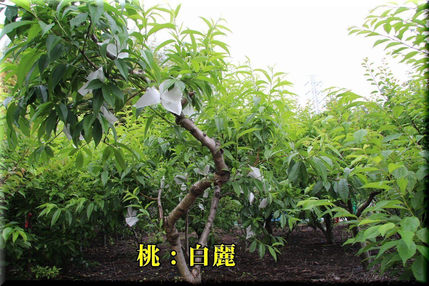 1hakurei180517_056.jpg