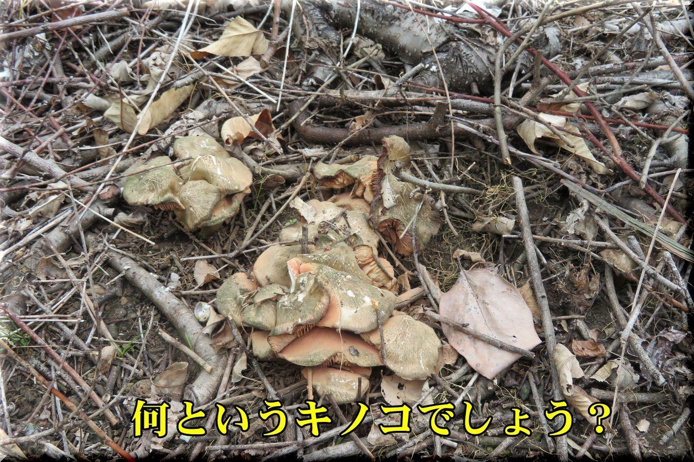 1kinoko180424_011.jpg