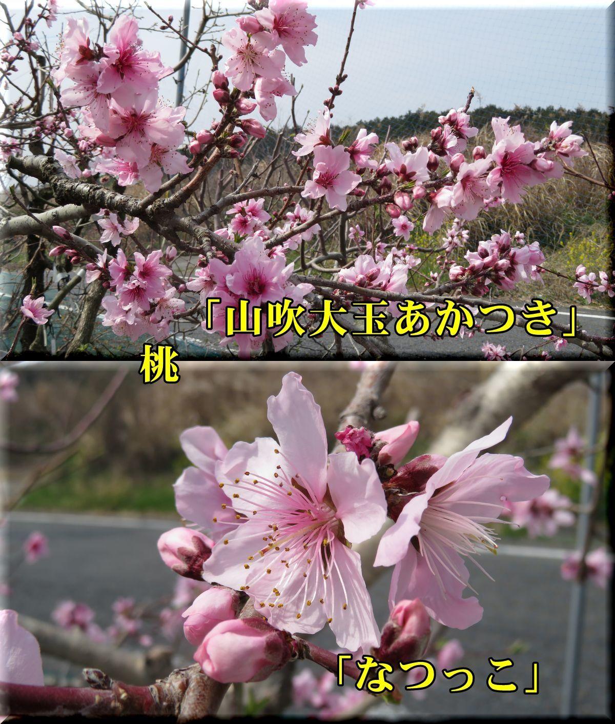 1yamabuki_natukk180327_005.jpg