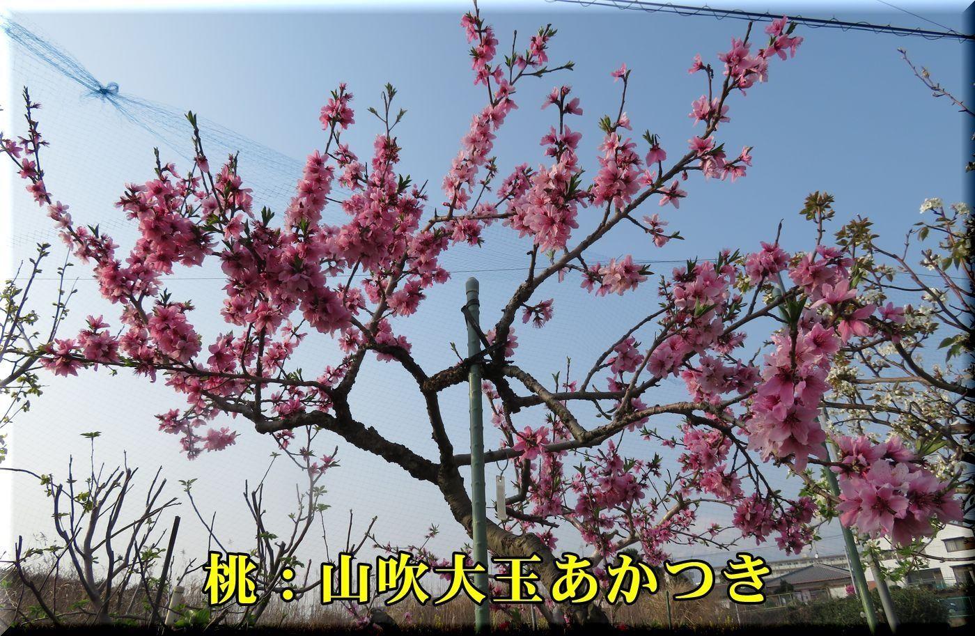 2yamabuki180402_053.jpg