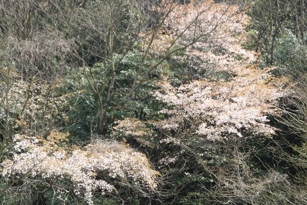 山桜1 2018-4-3