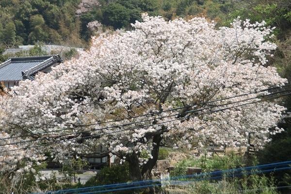 山桜2 2018-4-3