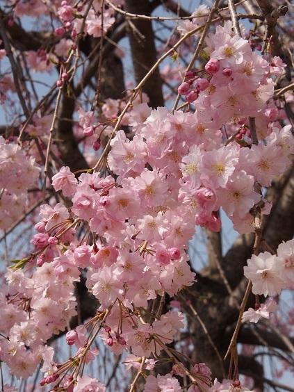 P3290036 枝垂れ桜