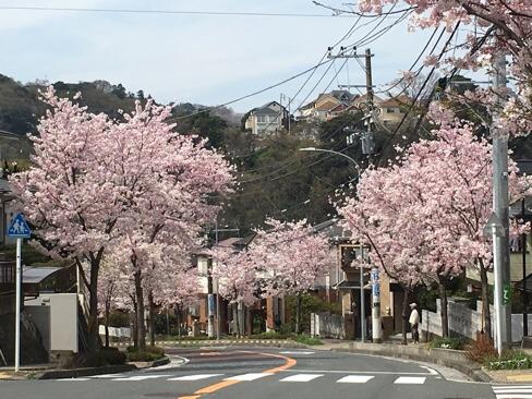 桜のトンネルが楽しみ!