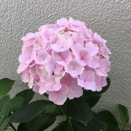 アジサイとエアプランツの花