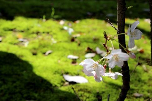 桜 031-001