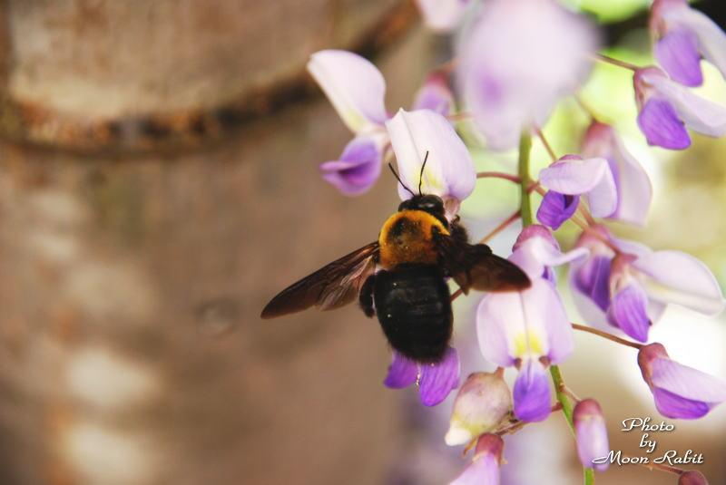 おかんのんさんの藤と蜂