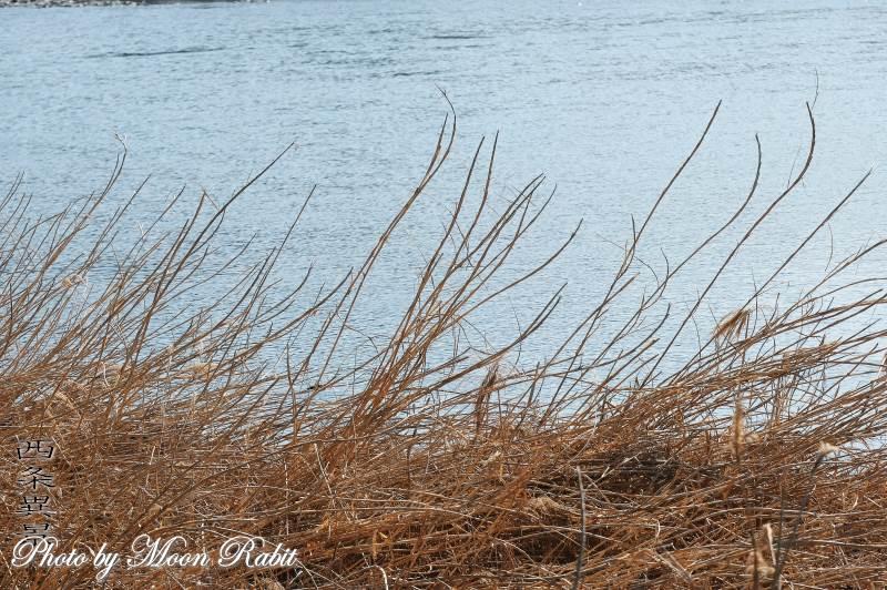 葦の茎 加茂川