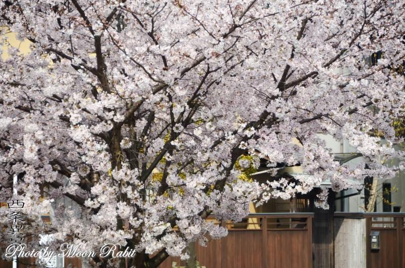 ほとりでさんぽと桜
