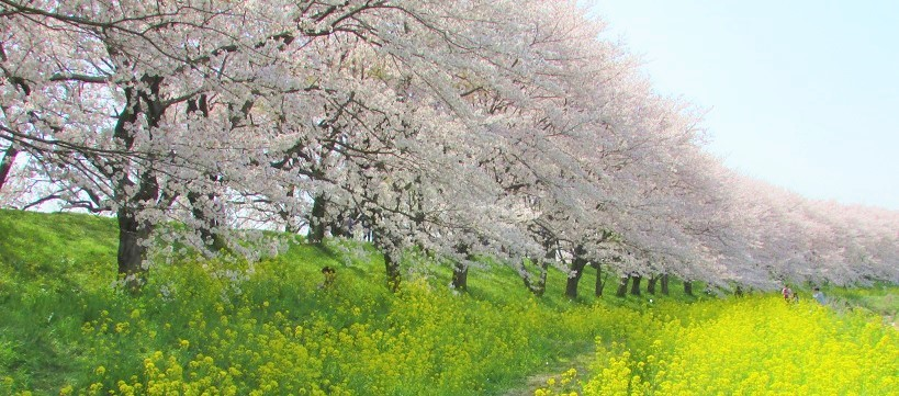 yoshimi-sakura180401-102.jpg