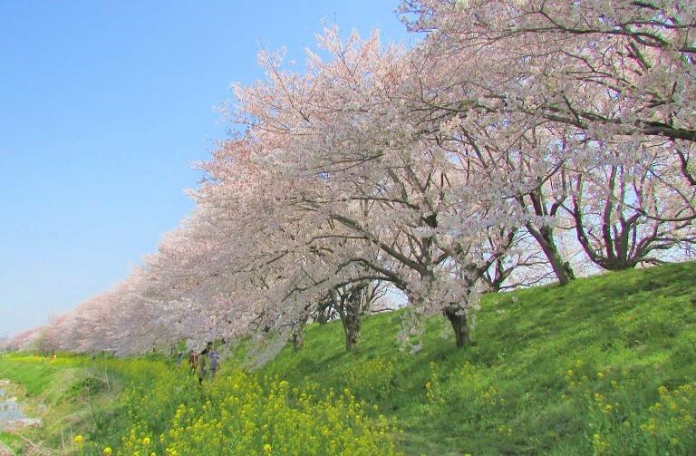 yoshimi-sakura180401-103.jpg