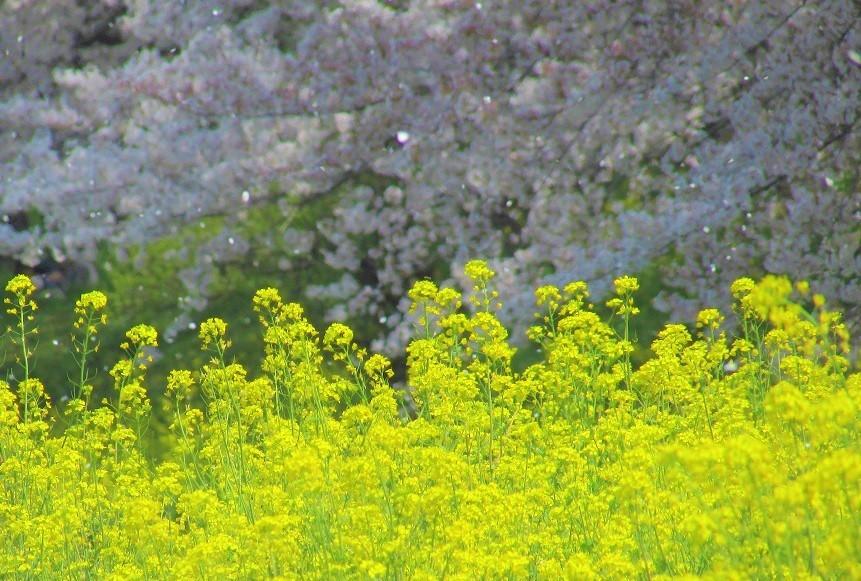 yoshimi-sakura180401-104.jpg
