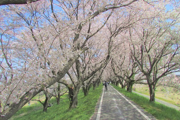 yoshimi-sakura180401-105.jpg