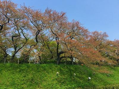 chidorigafuchi-hanami04