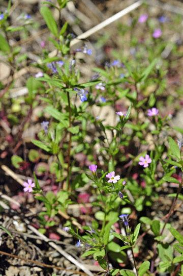 blog 54 Prineville to Ochoco National Forest (USFS Road #2730), Lucky Strike Mine, Blue-eyed Mary & Phlox ?, OR_DSC1959-5.8.16.(1).jpg