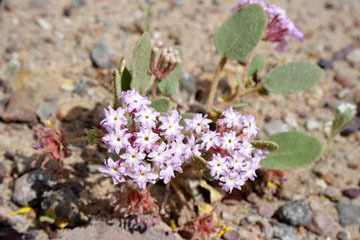 blog 13 95S-178W Shoshone to Badwater, Salsbury Pass @3315, Jubilee 1293ft, Pink Sand Verbena, CA_DSC7638-3.21.17.jpg