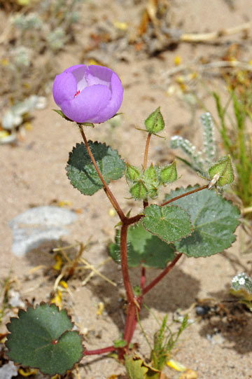 blog 13 95S-178W Shoshone to Badwater, Salsbury Pass @3315, Jubilee 1293ft, Pink Sand Verbena & Five-Spot, CA 2_DSC7644-3.21.17.jpg
