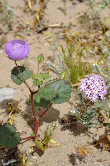 blog 13 95S-178W Shoshone to Badwater, Salsbury Pass @3315, Jubilee 1293ft, Pink Sand Verbena & Five-Spot, CA 2_DSC7643-3.21.17.jpg