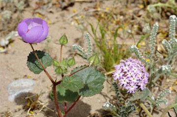 blog 13 95S-178W Shoshone to Badwater, Salsbury Pass @3315, Jubilee 1293ft, Pink Sand Verbena & Five-Spot, CA 2_DSC7642-3.21.17.jpg