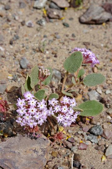 blog 13 95S-178W Shoshone to Badwater, Salsbury Pass @3315, Jubilee 1293ft, Pink Sand Verbena, CA_DSC7641-3.21.17.jpg