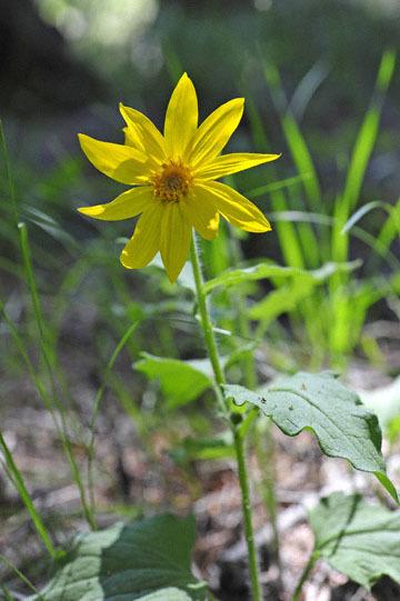 blog 54 Prineville to Ochoco National Forest (USFS Road #2730), Lucky Strike Mine, Hearleaf Arnica, OR_DSC2003-5.8.16.(1).jpg