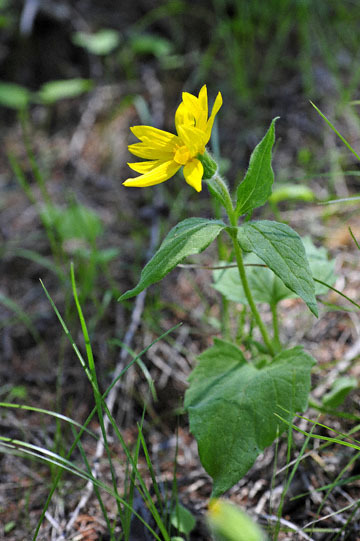 blog 54 Prineville to Ochoco National Forest (USFS Road #2730), Lucky Strike Mine, Hearleaf Arnica, OR_DSC2005-5.8.16.(1).jpg