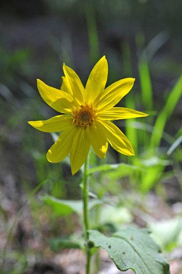 blog 54 Prineville to Ochoco National Forest (USFS Road #2730), Lucky Strike Mine, Hearleaf Arnica, OR_DSC2004-5.8.16.(1).jpg